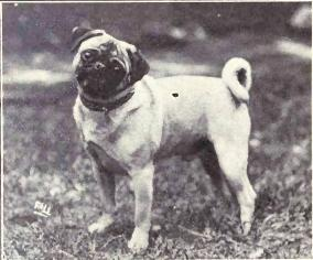 Pug_from_1915
